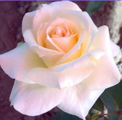 Розы белые и кремовые