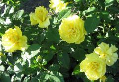 Розы бордюрные Цветы для букетов. Розы флорибунда.