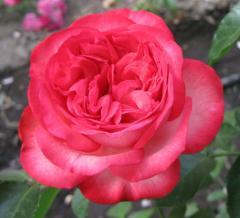 Розы наложенным платежем.