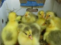 Gooses of breed Legart wholesale Ukraine.