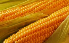 Corn Corn from the producer at wholesale prices