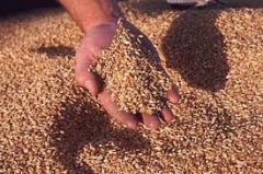 Forege grain of Sales of grain v_d s_lgospvirobnik