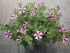 Квіти однорічні садові