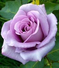 Розы в продаже! Цветущие! Розы в контейнерах с