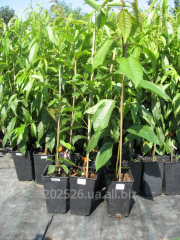 Sweet cherry saplings