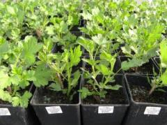 Gooseberry saplings