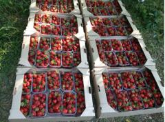 Trays for strawberry