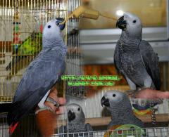 On sale parrots manual Zhak
