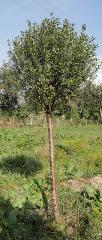 Черешня плакучая (Prunus pendula) h- 1.70-2.20 м