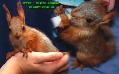 Little squirrels and burunduchka are extremely