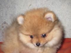 Spitz-dogs Pomeranian