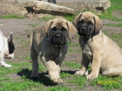 Puppies of the English mastiff