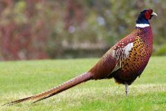 Яйцо фазана, молодняк фазана, охота на фазана