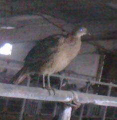 Молодняк фазана от производителя