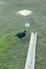 Молодняк фазана 2 месячных