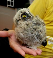 Owlets are brought up in nursery, absolutely