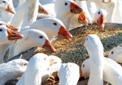 Compound feed for geese