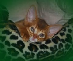 Abyssinian and Persian kittens