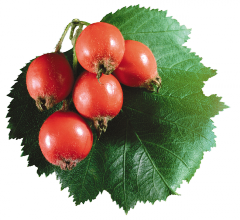 Syrup from hawthorn fruits