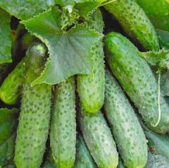 Cucumbers hothouse different grades