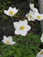 Anemone dubravny, or anemony. (AnemonenemorosaL.)