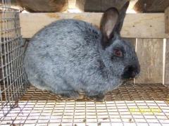 Продам кроликов серебристой породы