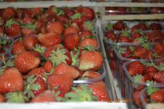Berries. Strawberry Honey, Elsanta cooled grades,