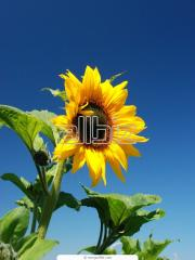 Sunflower, soy, corn, mustard pure dry grain