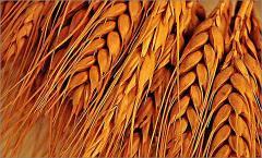 Wheat fodder 4th class, Wheat fodder the 4th class