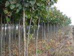 Материал посадочный листопадных