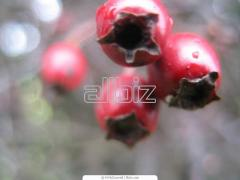 Hawthorn fruits dried