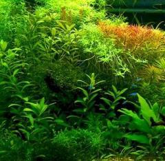 Растение аквариумное анубиас