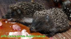 Ezhata May brood, European forest hedgehog