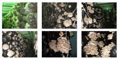 Производство грибного субстрата вешенки