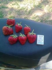 Strawberry Albion, Queen Elizabeth