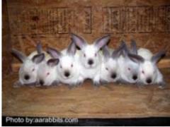 Кролики пород калифорнийская, серый, серебристый