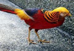 Фазан - продам фазанов разных видов, ...