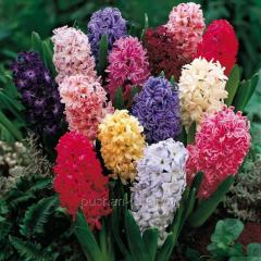 Hyacinth - a vygonka for March 8