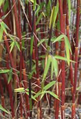 Саженцы морозостойкого бамбука Fargesia jiuzhaigou
