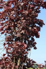 Клен гостролистий (Acer plat. 'Faasen's
