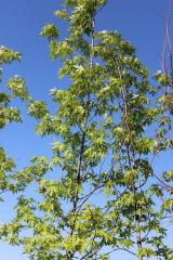 Клен цукровий (Acer saccharinum З 60)