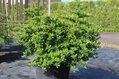 Барбарис Тунберга (Berberis thunbergii) С 3