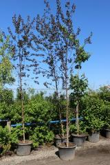 Birch povisly Purpurea (Betula pendula Purpurea)