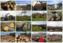 Export of a round timber of a beech, pine,