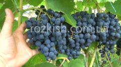 Саженцы винограда Польский Августовский