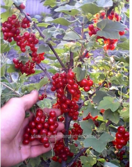 Porichka, currant red - Dzhonker Van Tets