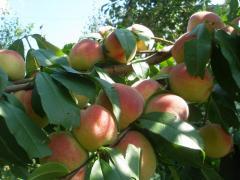 Saplings of fruit-trees