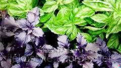 Essential oil of basil