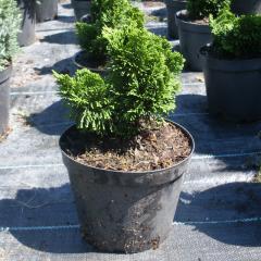 Cypress of stupid 'Nana Gracilis' the 15-20th