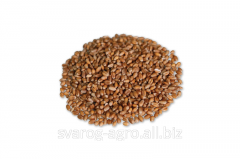 Food wheat from the manufacturer